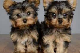 Cute and Cuddly Yorkshire Terrier Puppies