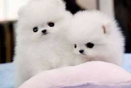 Cute Pomerania Pups available